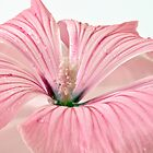 Lavatera Blossom With Rain Drops by Sandra Foster