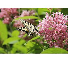 Canadian Tiger Swallowtail Butterfly 2 Photographic Print