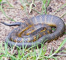 Tiger Snake Coil by mncphotography