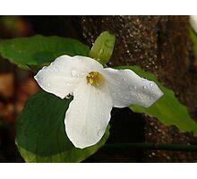 Ontario Spring Trillium  Photographic Print