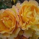 Lovely yellow roses by Angela Gannicott