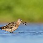 Dowitcher calling by Bryan  Keil