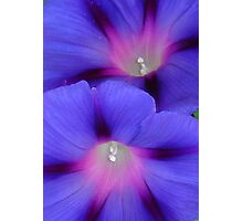 Purple and Pink Colored Morning Glory Flowers Closeup Photographic Print