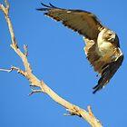 Red-tailed Hawk by Kimberly Chadwick