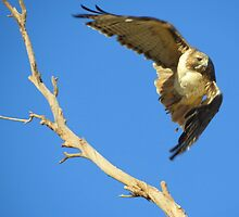 Red-tailed Hawk by Kimberly Chadwick