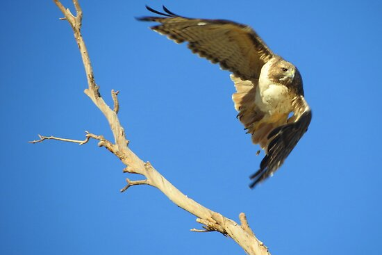 Red-tailed Hawk by Kimberly P-Chadwick