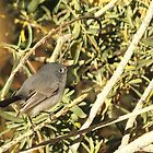 Blue-gray Gnatcatcher (Female) by Kimberly Chadwick