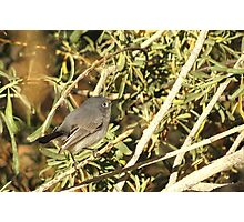 Blue-gray Gnatcatcher (Female) Photographic Print