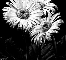 Three Daisy's by Jeffrey  Sinnock