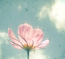 Pink Cosmos by Cassia Beck