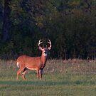 Buck in the Meadow by Jim Cumming