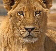 Young Lion (Panthera leo) by Konstantinos Arvanitopoulos