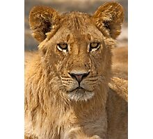 Young Lion (Panthera leo) Photographic Print