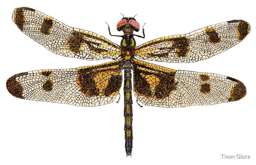 Female Banded Pennant Dragonfly by Thom Glace