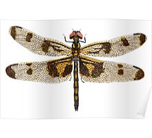 Female Banded Pennant Dragonfly Poster