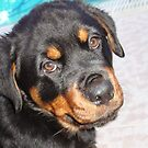 Female Rottweiler Puppy Making Eye Contact by taiche