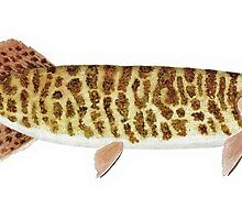 Barred Muskellunge by Thom Glace