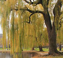 Weeping Willow in the Boston Public Gardens by Roupen  Baker