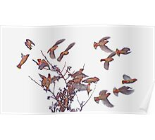 Waxwing Flock Poster