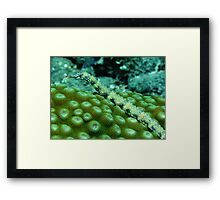 Pipefish on Favid Framed Print