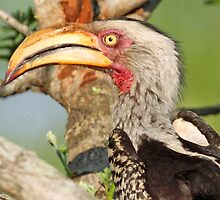 Yellow billed hornbill profile by jozi1