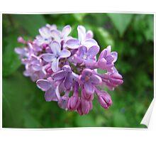 Shooting up lilacs! Poster