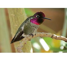Anna's Hummingbird (Male) Photographic Print