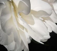 White Bloom by ckphoto