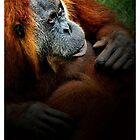 Orangutan  by Dennis Stewart