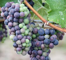 Niagara Grapes by Morgan Booker