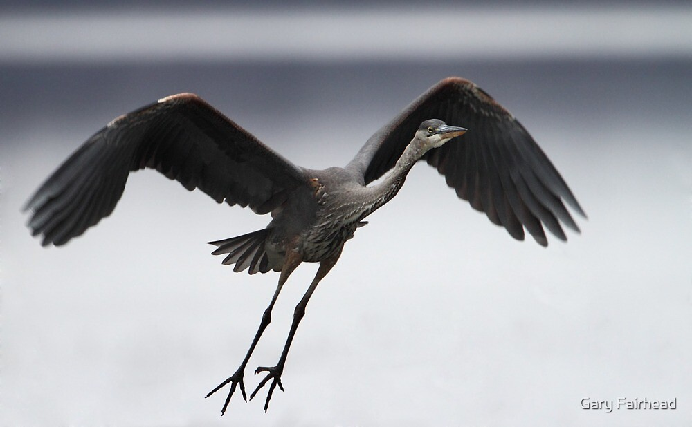 Great Northern Blue Heron by Gary Fairhead
