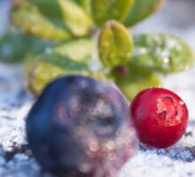 Frozen Red lingonberries, vaccinium vitis-idaea Sticker