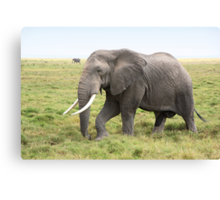 Bull Elephant Following the Herd, Amboseli, Kenya Canvas Print