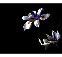 Daylilly Photographic Print