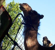 Two Camels - 02 12 12 by Robert Phillips