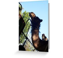 Two Camels - 02 12 12 Greeting Card