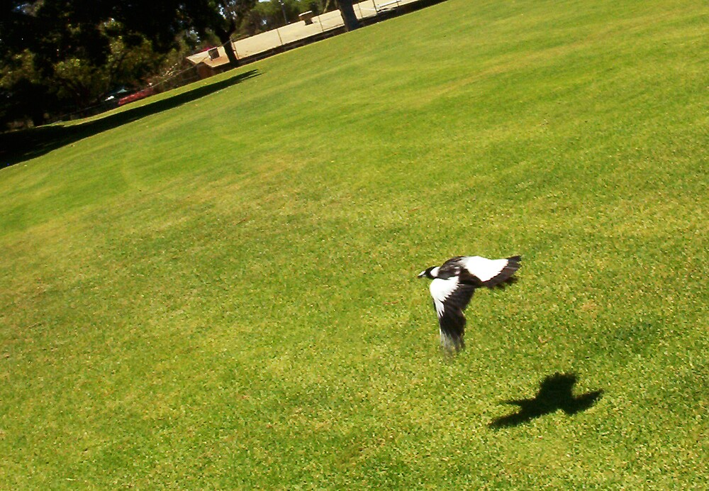 The Money Shot - Magpie In Flight College Park by Robert Phillips