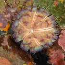 Fire Urchin - Asthenosoma ijimai by Andrew Trevor-Jones