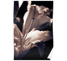 Oriental Lily Study1 Poster