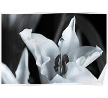 Oriental Lily Study2 Poster