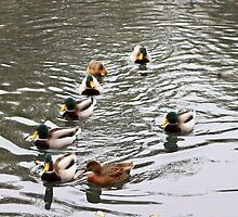 Eight little ducks, swimming on the water by missmoneypenny