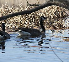 Tranquil Canada Geese  by Rich Fletcher