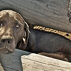 Dougie The Silver Lab by Chris  Gale