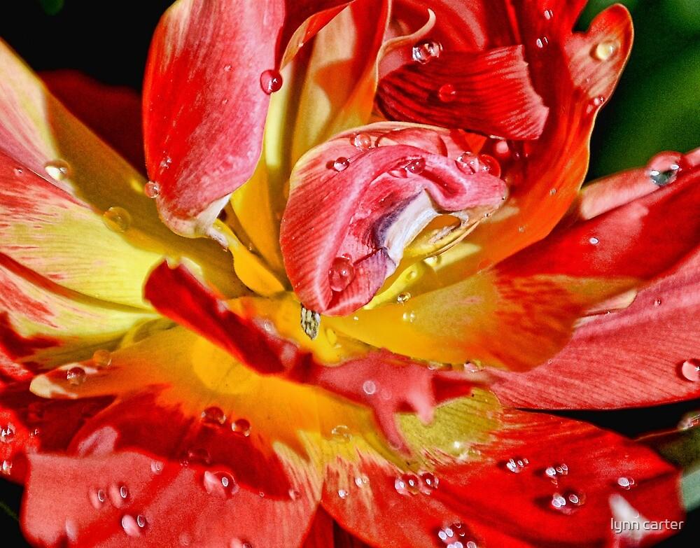 Tulip Macro by lynn carter