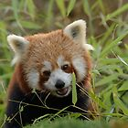 Kleine Panda / Red panda by MaartenMR