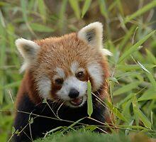 Kleine Panda / Red panda by MaartenMR