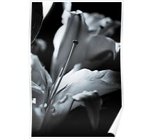 Oriental Lily Study1a Poster