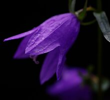 A litttle purple bell flower growing in the shade by Clare Colins