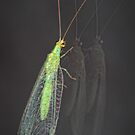 Common lacewing by jimmy hoffman