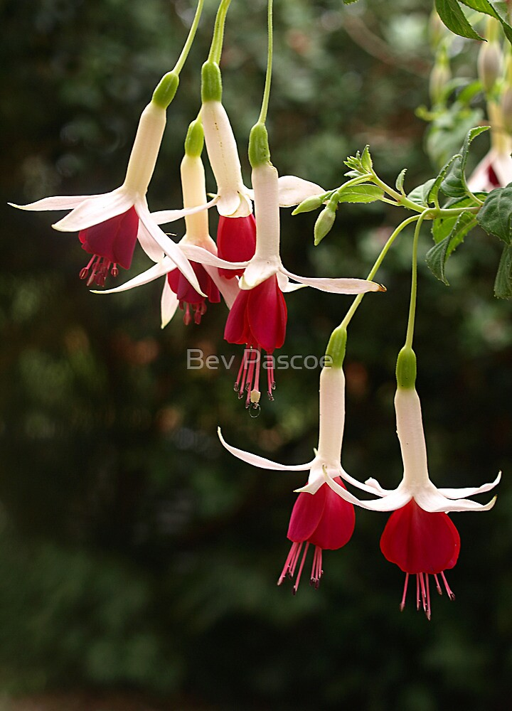 Fuchsia Group - Red & White by Bev Pascoe